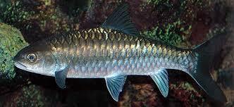 Ikan Kelah Biru Malaysia