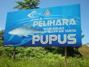 pelihara-ikan-kelah