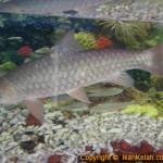 Ikan Kelah Besar Di Dalam Akuarium