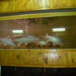 ikan-kelah-dan-akuarium
