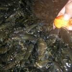 ikan-kelah-merah-makan-sawit-3