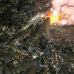 ikan-kelah-merah-makan-sawit-2