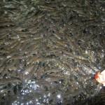 ikan-kelah-merah-makan-sawit
