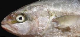 Penyakit Ikan Air Tawar Dan Rawatan (Siri 3)