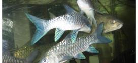 Ikan Kelah Biru Di Taman Negara Endau Rompin Malaysia