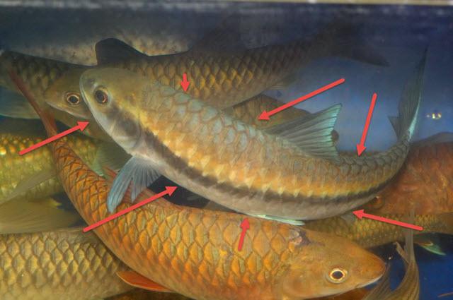 Ikan Kelah Biru Siam Atau Thailand Di Pasaran Malaysia