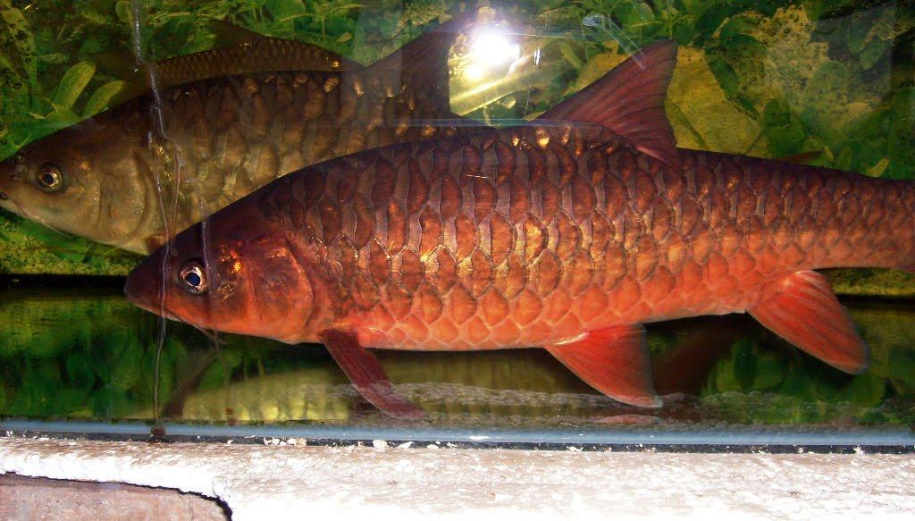 Ikan Kelah Bara Tembat